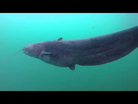 Diving with Wels Catfish - HD