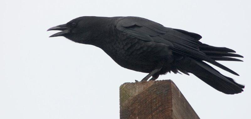 intelligentester Vogel Krähe auf Stamm