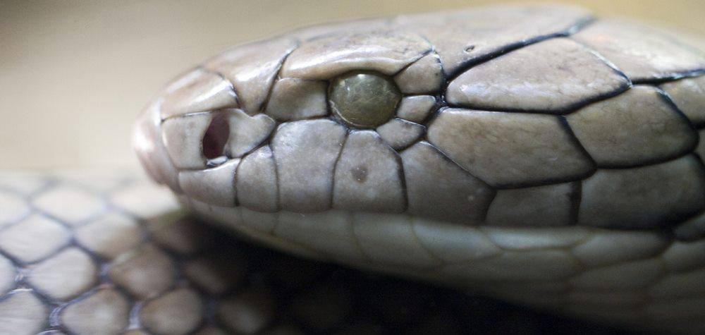 Kopf einer Königskobra