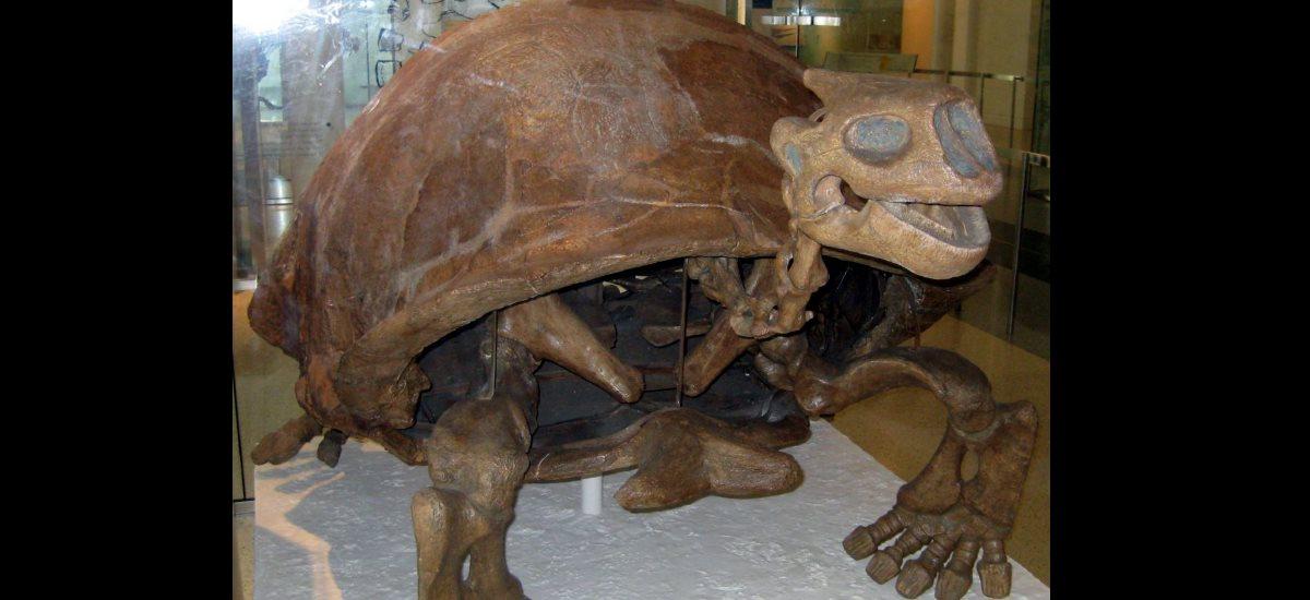 Fossil Riesenschildkröte Museum