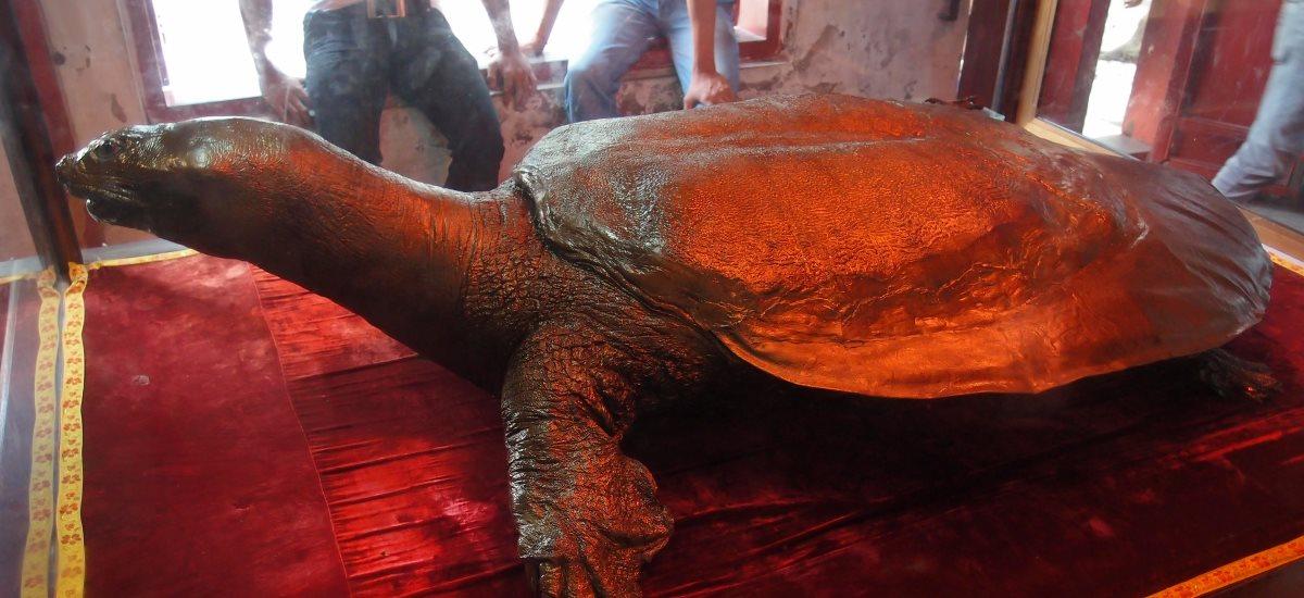 ausgestellte Riesenschildkröte