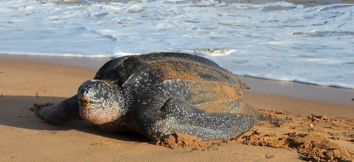Lederschildkröte Strand Schildi