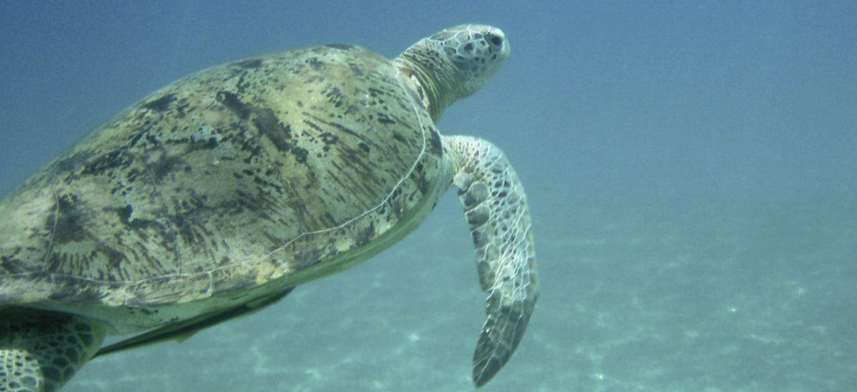 die größte Altweltsschildkröten