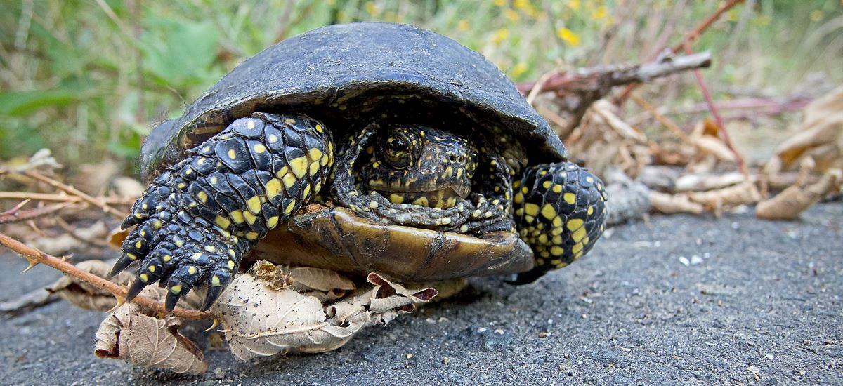 deutsche Schildkröte