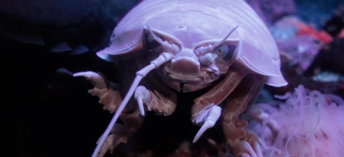 gigantische Assel unter Wasser