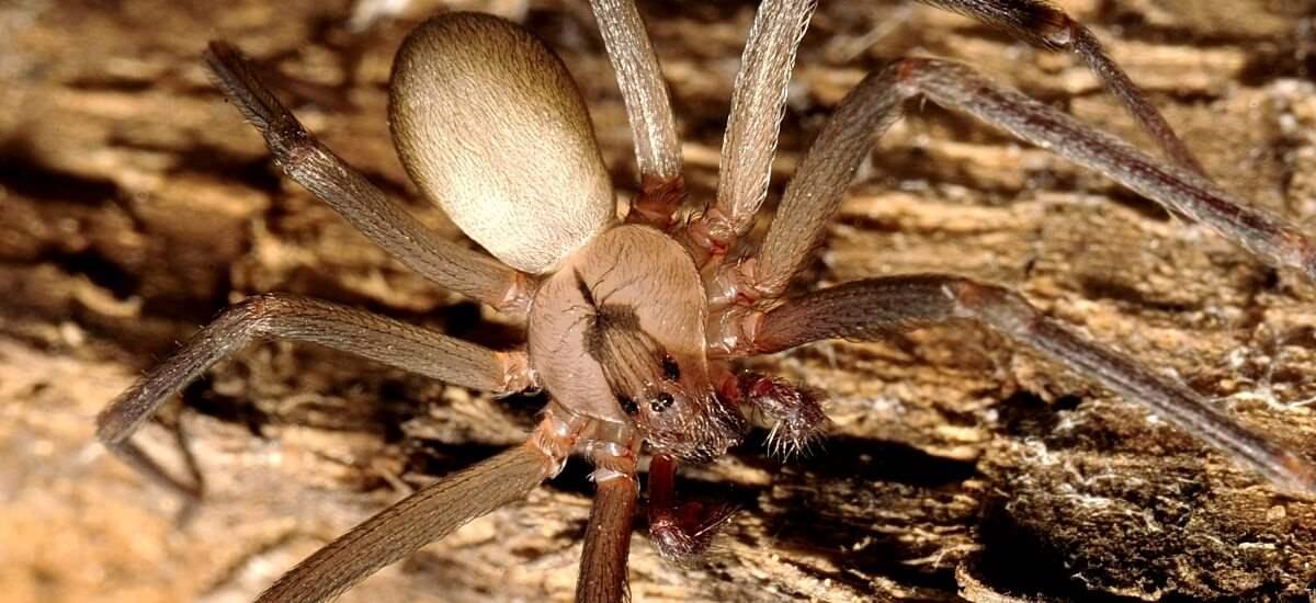 braune Spinne auf Ast