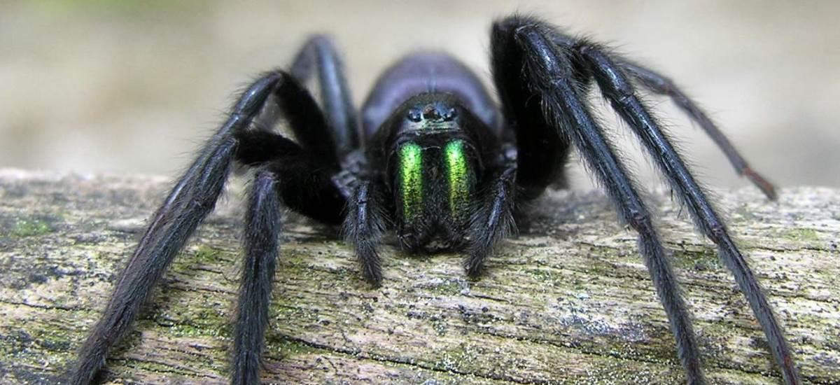 schwarze grosse Spinne, grüne Klauen