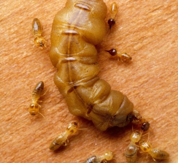 Termiten Königin und Helfer