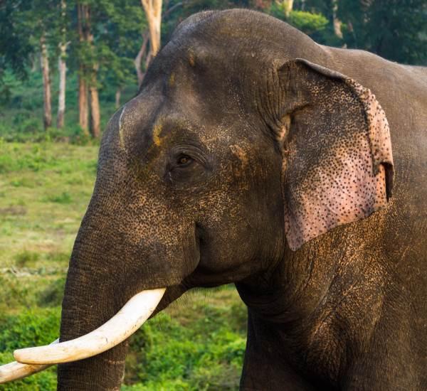 Elefant Stosszähne Urwald