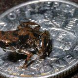 winziger brauner Frosch