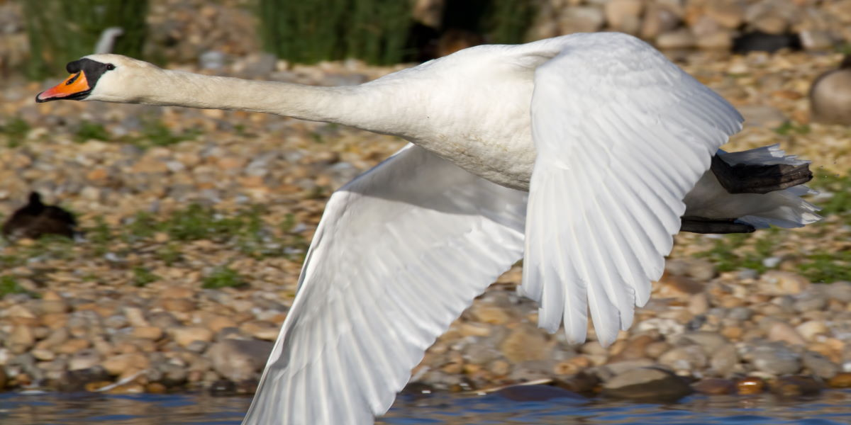 fliegender grosser schwan