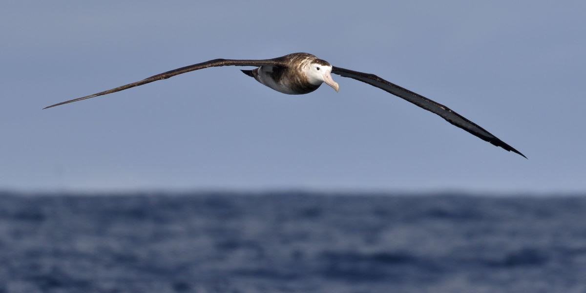 Albatros fliegt über Meer